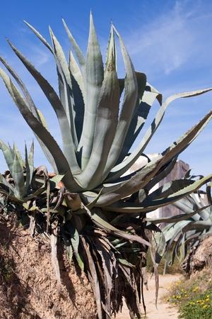 agave: Agave y suciedad de la carretera, la isla de Djerba, Túnez, África
