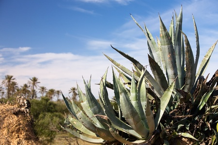 Agave and date palms on background, island of Djerba, Tunisia, Africa photo