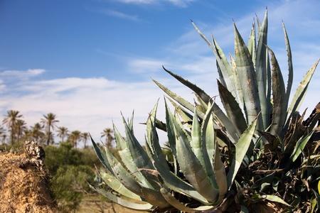 agave: Palmas de las manos de Agave y la fecha en el fondo, la isla de Djerba, Túnez, África