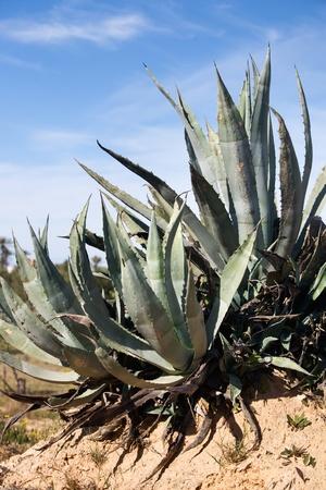 agave: Agave en invierno, la isla de Djerba, Túnez, África