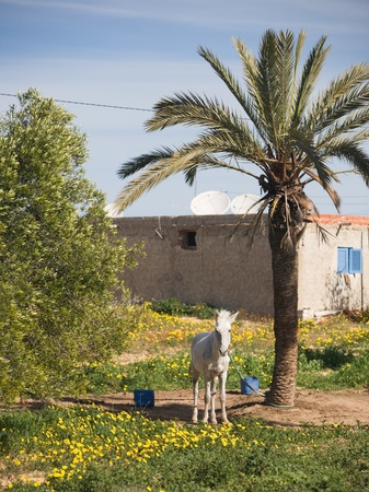 White mule tied to date palm, house with three satellite dishes in background, island of Djerba, Tunisia, Africa photo