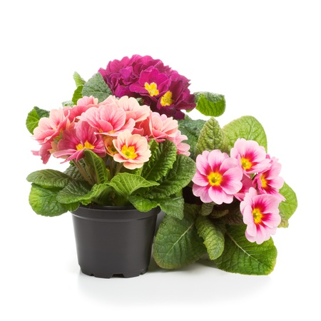 Plastic growing pots with primula flowers in the spring photo
