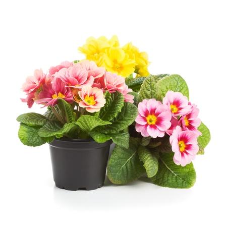 Plastic groeiende potten met primula bloemen in de lente Stockfoto