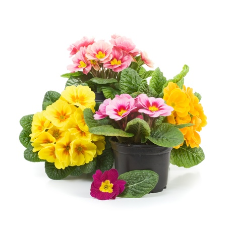 cut flowers: Plastic growing pots with primula flowers in the spring