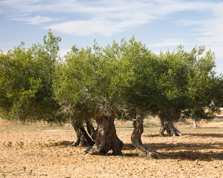 olive farm: Old olive trees in olive orchard, Djerba, Tunisia, Africa Stock Photo