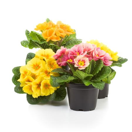 primula: Plastic growing pots with primula flowers in the spring
