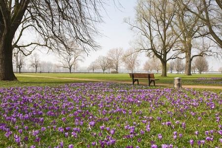 banc de parc: Crocus mauves dans le parc, à Düsseldorf, Allemagne Banque d'images
