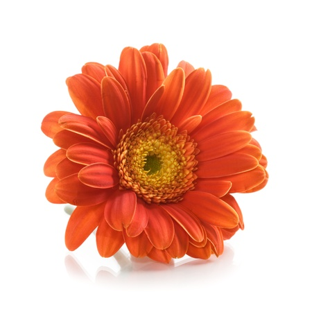 Single orange gerbera daisy flower on white background Stock Photo