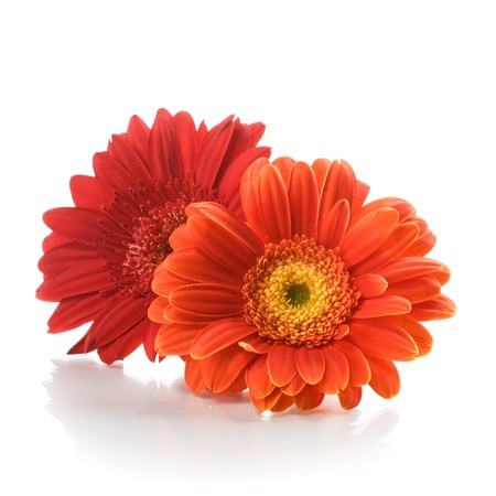 Two red gerbera daisy flowers on white background photo