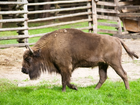Side view of American bison Stock Photo - 12841305