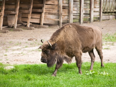 Side view of American bison by grazing