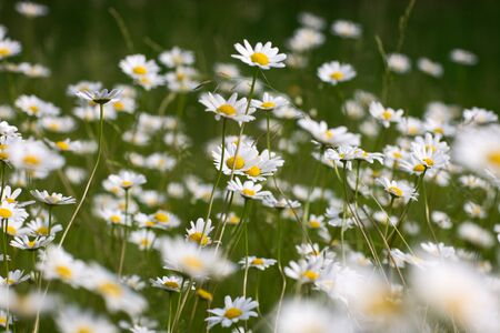 Oxeye daisies growing in garden Stock Photo - 12841312