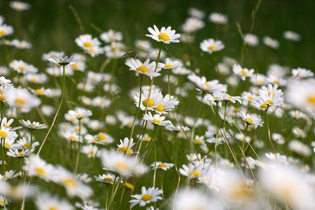 Oxeye daisies growing in garden Stock Photo - 12841312