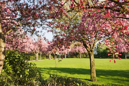 Spring park with blooming cherry trees photo