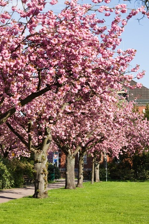 Cherry blossom in a spring park photo