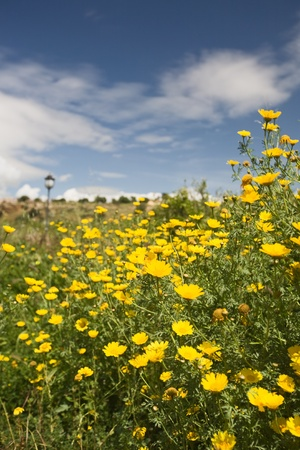 yellow wildflowers: Spring field of yellow daisies against blue sky, Sicily, Italy