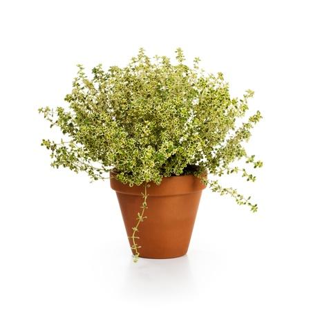 flower pot: Flower pot with fresh thyme, thymus citriodorus, on white background