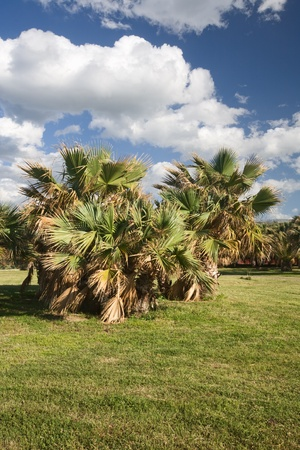 Fan palm trees in park, Sicily, Italy Stock Photo - 14122499