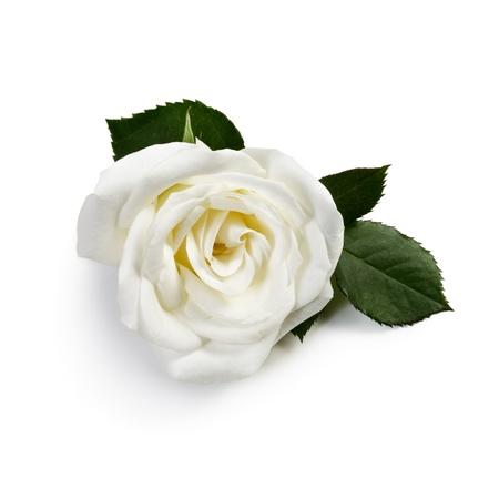白の背景に白の単一のバラ 写真素材