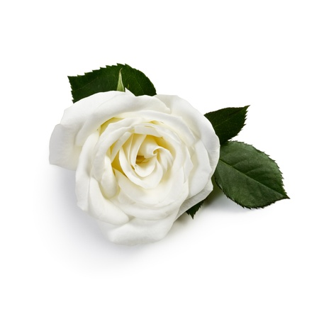 White single rose on white background