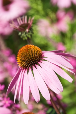 Blooming Echinacea Coneflower in garden Stock Photo