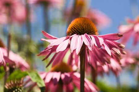 Blooming Echinacea Coneflower against blue sky photo