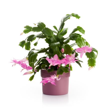 flower pot: Flower pot with Christmas cactus in bloom on white background Stock Photo