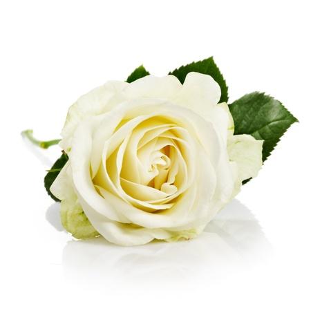 単一の白いバラの葉や茎の白い背景の上