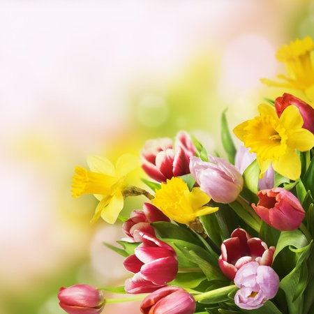 Bouquet of fresh colorful tulips and daffodils on abstract background