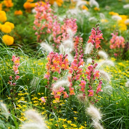 perennial plant: Summer flower bed with Snapdragons, Marigold, Tagetes and grass