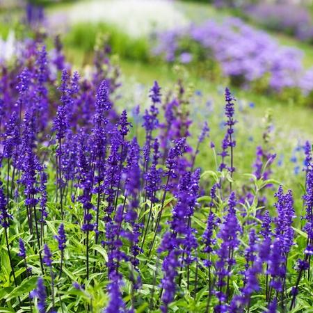 salvia: Blue flowerbed with meadow sage, Salvia nemarosa