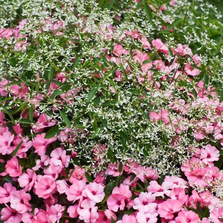 impatiens: Flower bed with pink Impatiens