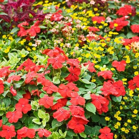 impatiens: Macizo de flores rojas y con Impatiens Osteospermum