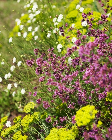 Yellow yarrow and Aquilegia in a field Stock Photo - 17752053