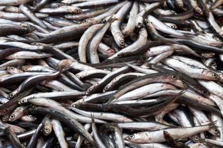 anchovy fish: Fresh anchovies for sale at market in Turkey