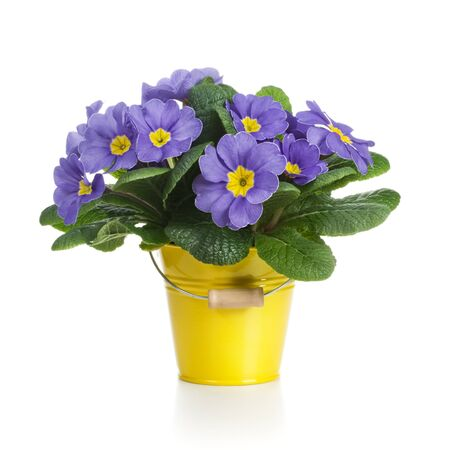 flower pot: Small bucket of lilac primrose flowers on white background Stock Photo
