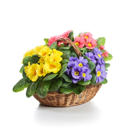 Basket full of colorful primrose flowers on white background photo