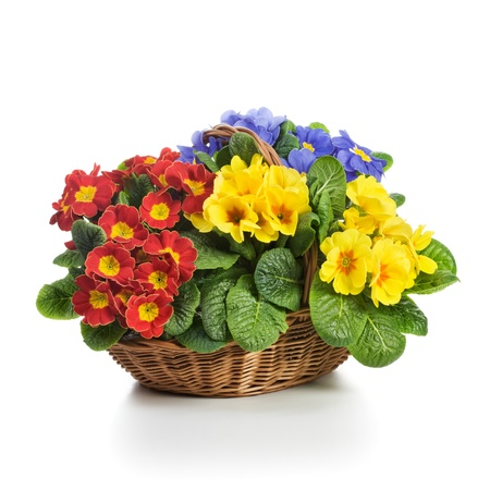 Basket full of spring primula flowers on white background photo