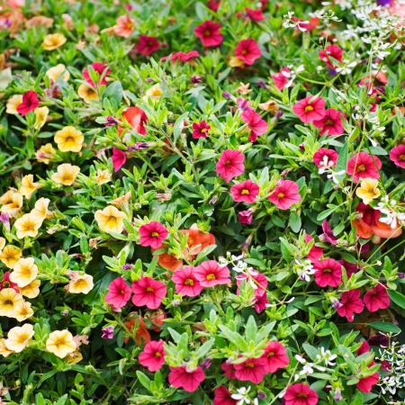 petunia: Petunia in red and yellow, background with beautiful summer flowers Stock Photo