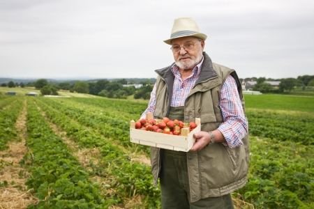 three day beard: Senior man in strawberry field holding wooden box of strawberries, portrait