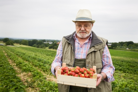three day beard: Portrait of senior in strawberry field holding wooden box of strawberries