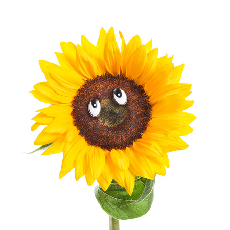 fun in the sun: Happy face of sunflower with eyes, leaves and stem on white background