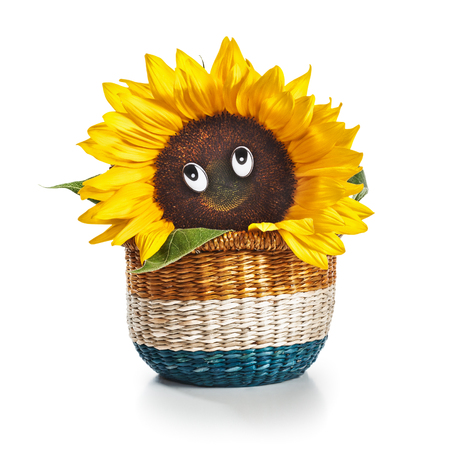 Happy smiling sunflower in basket on white background, clipping path included photo