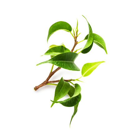 ficus: Branch of ficus benjamina houseplant on white background, clipping path included