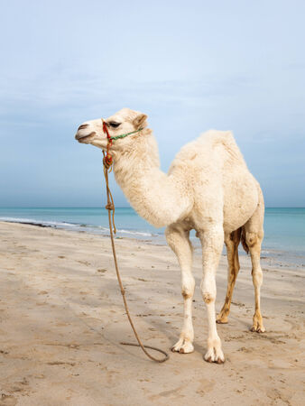 White baby camel on the beach in Tunisia