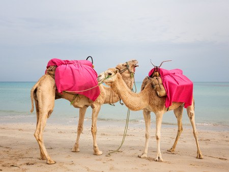 saddle camel: Two camels standing on the beach in Tunisia Stock Photo