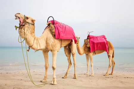 Two dromedary camels on the beach in Tunisia photo