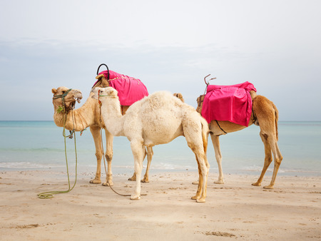 Two camels and white baby dromedary on the beach in Tunesia photo