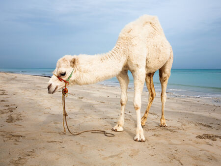 White baby camel on the beach in Tunisia photo