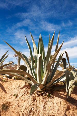 agave: Agave y las palmeras datileras en el fondo, la isla de Djerba, Túnez